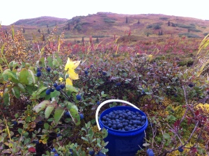 Picking Blueberries. There is no shortage of good places to pick around here!