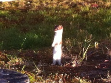Our curious neighbor, Hermin the Ermine. He tried to move in under Howie's dog house, and was quickly evicted by Howie. We still see him around stealing scraps of meat wherever he can find them.