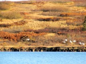 Swans flying over Boomerang Lake